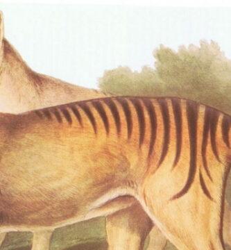 La leyenda del tigre de Tasmania